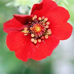 Frühblühende Sträucher Frühjahr : fingerkraut rot potentilla atrosangienum rot das ~ Michelbontemps.com Haus und Dekorationen