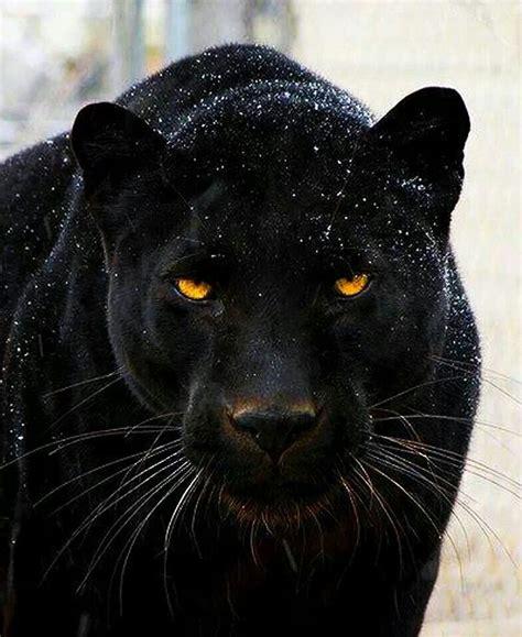 Black Jaguar by Black Panther Animal Kindgom Animals Animals