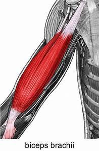 The Biceps Brachii Muscle