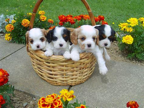 basket  puppies cavalier puppies pinterest