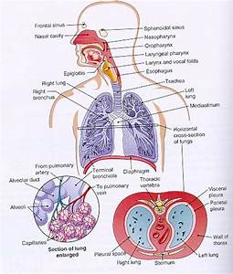 Diagram Of Circulatory System For Kids