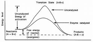 Enzymes  Catalysis And Kinetics