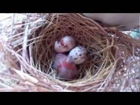 Cardinal Bird Eggs Nest Babies