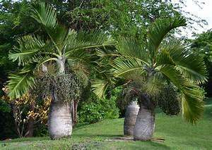 Palmier De Jardin : palmier bombonne ~ Nature-et-papiers.com Idées de Décoration