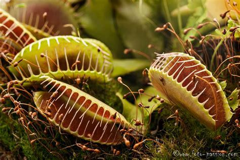 fleischfressende pflanzen repräsentative arten fleischfressende pflanzen gesellschaftsspiele