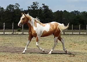 Palomino Paint Horse | Wunderhubsche Palomino Tobiano ...