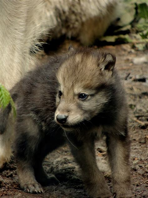 le loupe de bureau le loup blanc arctique loups de chabrières