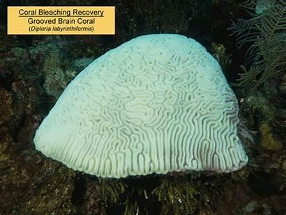 Coral Caribbean Reef Grooved Brain