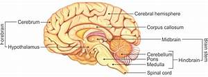 Draw A Diagram Of Human Brain And Label Any Four Parts