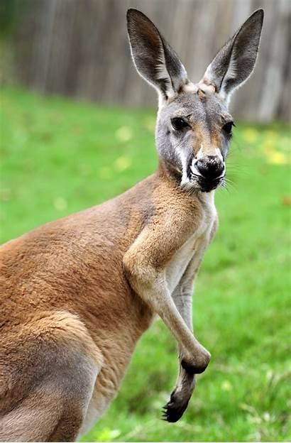 Kangaroo Kangaroos Animalia Zoo Wild