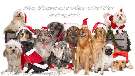 merry christmas dogs madinbelgrade