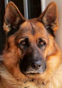 12 Reasons German Shepherds Are The Best-Looking Dogs In ...