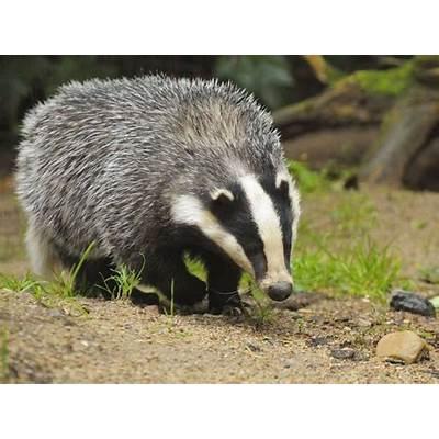 European badgerBadgerPinterest