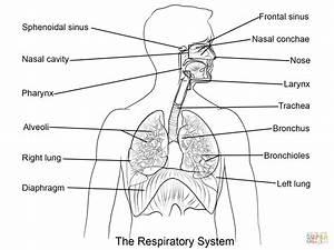 Respiratory System Diagram Worksheet For Kids - Human Body ...