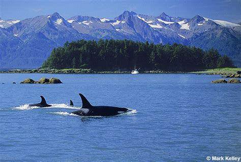 Killer Whales, Lynn Canal, Alaska – Image 2539Mark Kelley ...