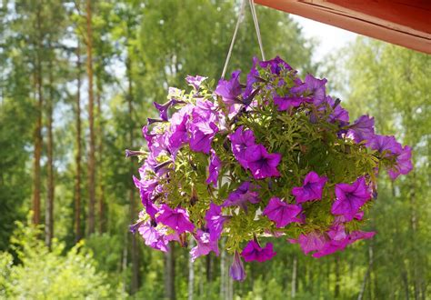 purple hanging plant 70 hanging flower planter ideas photos and top 10