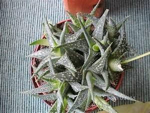 Euphorbia Trigona Vermehren : kakteen bestimmen kaktus bestimmen bestimmung kakteen kakteen bestimmen kakteen und andere ~ Orissabook.com Haus und Dekorationen