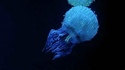 Jellyfish Gifs Giphy Stunning Fish Underwater Ocean