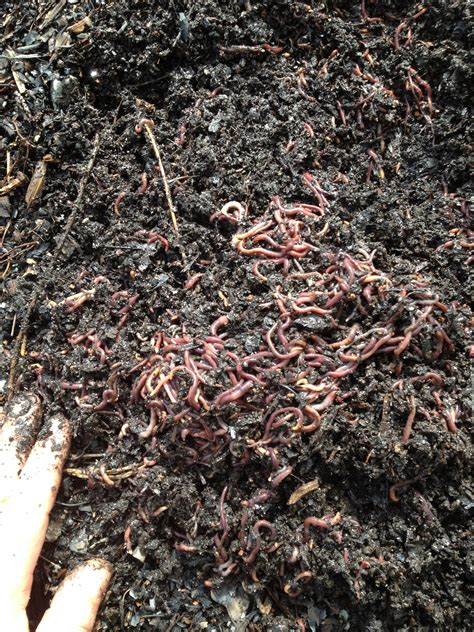 worms wiggler wigglers ants fast multiplying etc question summer dry wet weather farm despite cold