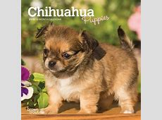 Chihuahua Puppies 2019 7 x 7 Inch Monthly Mini Wall