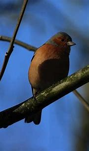 Male Chaffinch Donegal 20 by Eddie Barron in 2020 ...