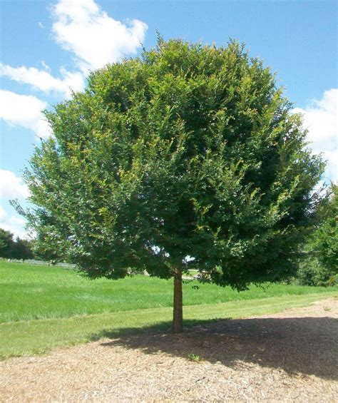 of tree allee 174 chinese elm