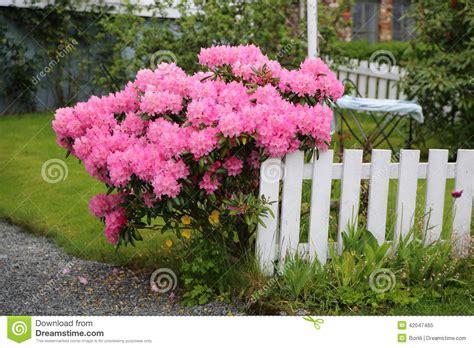 rosa blühender strauch rosa bl 252 hender strauch stockfoto bild 42047465