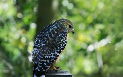 Hawk Wallpapers A3 Prey Oiseaux Bird Falcon
