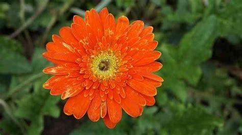22 populārākie Floridas ziedi ar attēliem (vietējie un ...