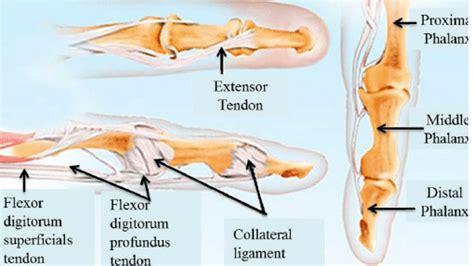 Anatomy The Index Finger Download Scientific Diagram