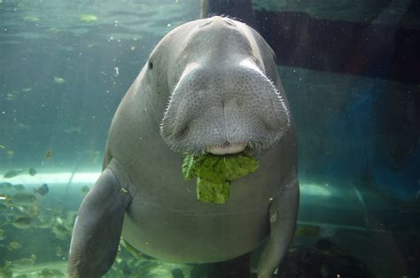 Dugongs Of The Great Barrier Reef