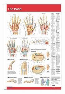 Hand Joints Articulations Poster 24 U0026quot  X 36 U0026quot  Laminated