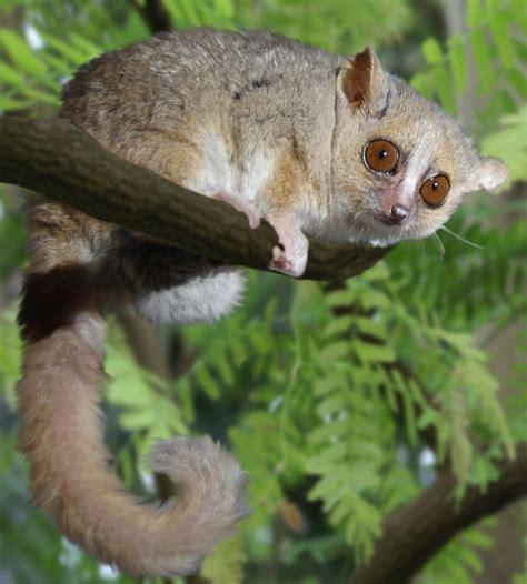 List of lemur species Wikipedia the free encyclopedia