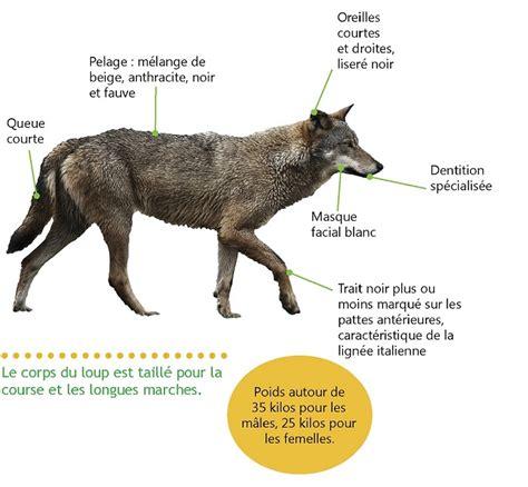 le loupe de bureau le loup biologie et présence en ferus