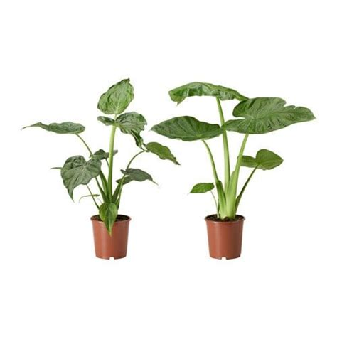 alocasia odora kaufen potplant alocasia alocasia diverse soorten wishlist