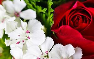 Red Roses And White Flower HD Wallpaper | Flowers Wallpapers