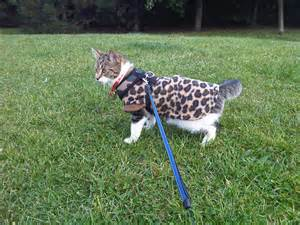 walking a cat the wonders of walking your cat on a leash a beginners