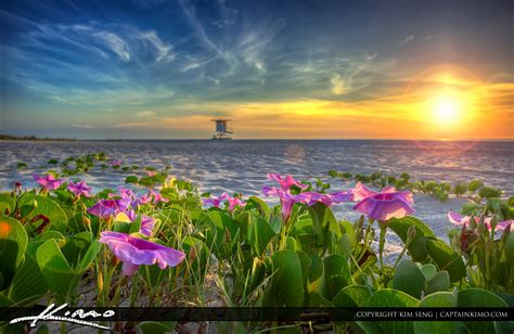 Beach Morning Glory Flower At Sunrise Hdr Photography By