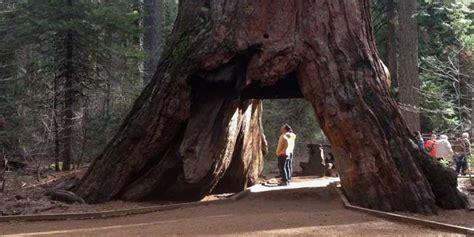 unwetter faellt mehr als tausend jahre alten mammutbaum