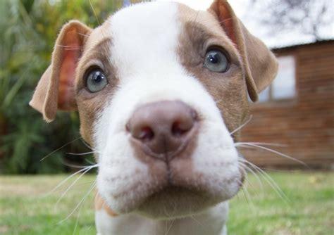 top  misconceptions  pit bulls dogvills