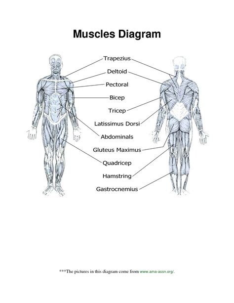Muscular System Diagram Worksheet Answers  World Of Reference