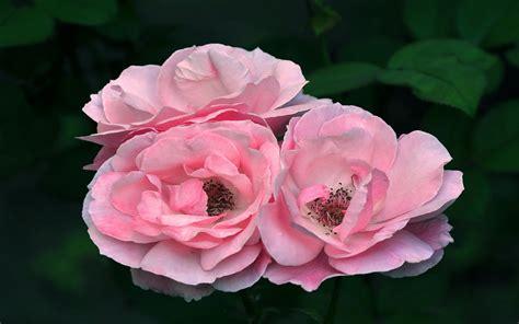 banco de imagenes gratuitas rosas de colores para el 10 de mayo ix 12