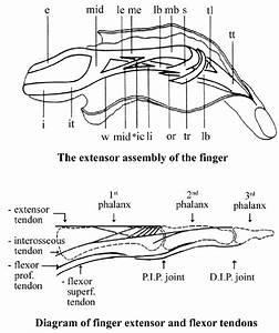 Details Of The Extensor And The Flexor Tendons Of The Finger  In Dorsal
