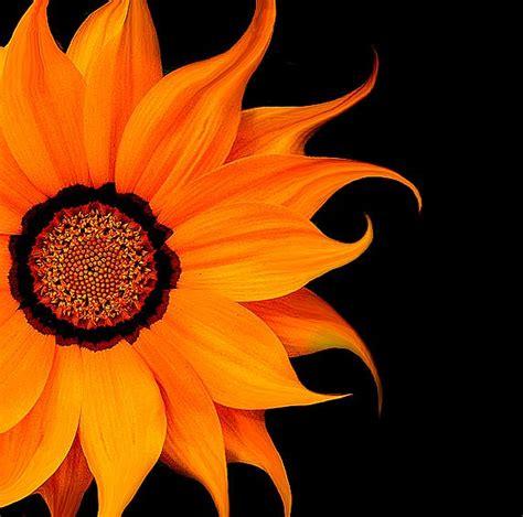 Black And Orange Flower Wallpaper by Best 25 Orange Flowers Ideas On Flora Orange