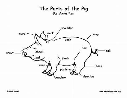 Pig Labeled Diagram Parts Coloring Pigs Animals