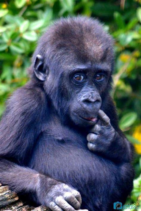 koko gorilla ideas  pinterest  gorilla