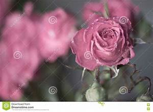 Pink Rose With Water Drops Stock Photo - Image: 71562570