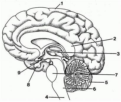 Diagram Brain Human Anatomy Drawing System Nervous