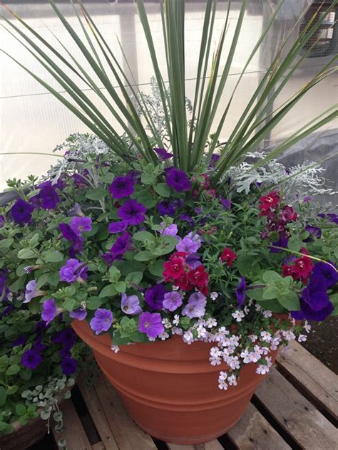 power flowers container garden with dusty miller petunia snapdragon and bacopa garden