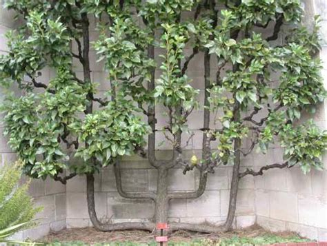 espalier fig trees for sale espalier living fences 171 the essentialist